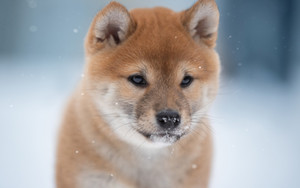 Preview wallpaper of Dog, Pet, Shiba Inu