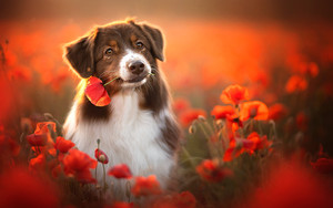 Preview wallpaper of Animal, Dog, Australian Shepherd