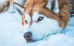 Preview wallpaper of Dog, Husky, Pet