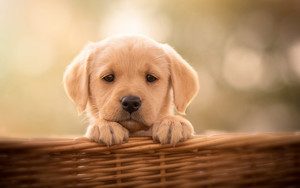 Preview wallpaper of Baby, Animal, Dog, Labrador, Retriever, Pet Puppy