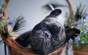 Preview wallpaper of Animal, Dog, French Bulldog, Pet