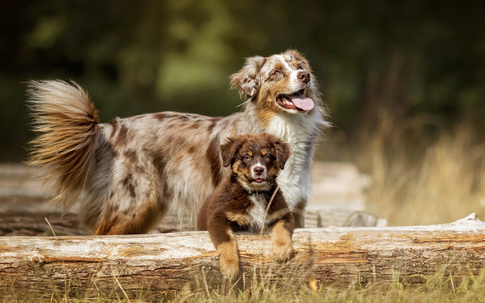 Wallpaper of Animal, Dog, Australian Shepherd, Puppy background & HD image