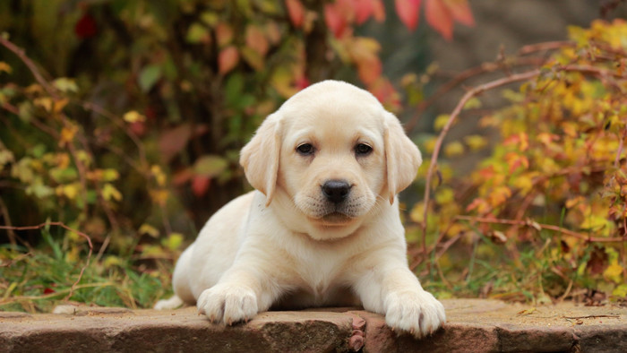 Wallpaper of Baby Animal, Dog, Labrador Retriever, Pet, Puppy background & HD image