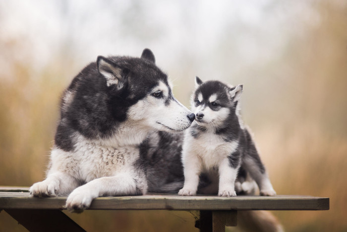 HD Wallpaper Animal, Dog, Baby, Husky