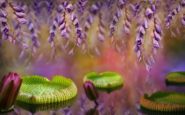 HD Wallpaper Leaves, Water Lilies, Wisteria